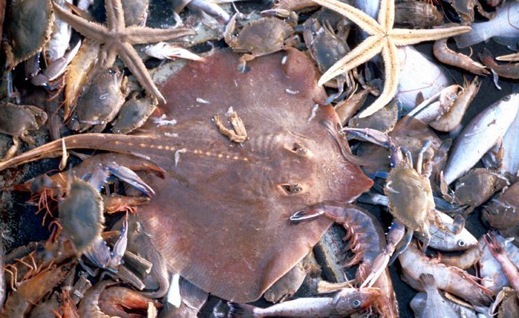 bijvangst-garnalen-visserij