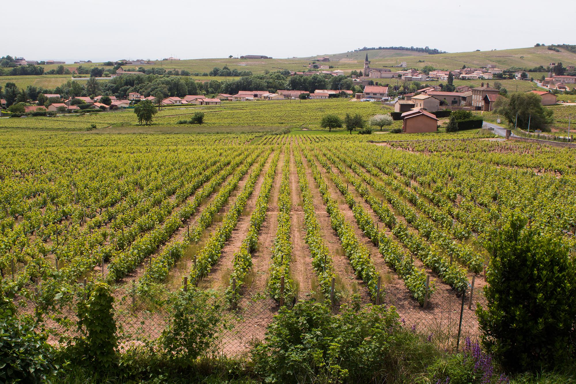 Een wijngaard van gewone wijnmakers. Bemerk het verschil in flora.
