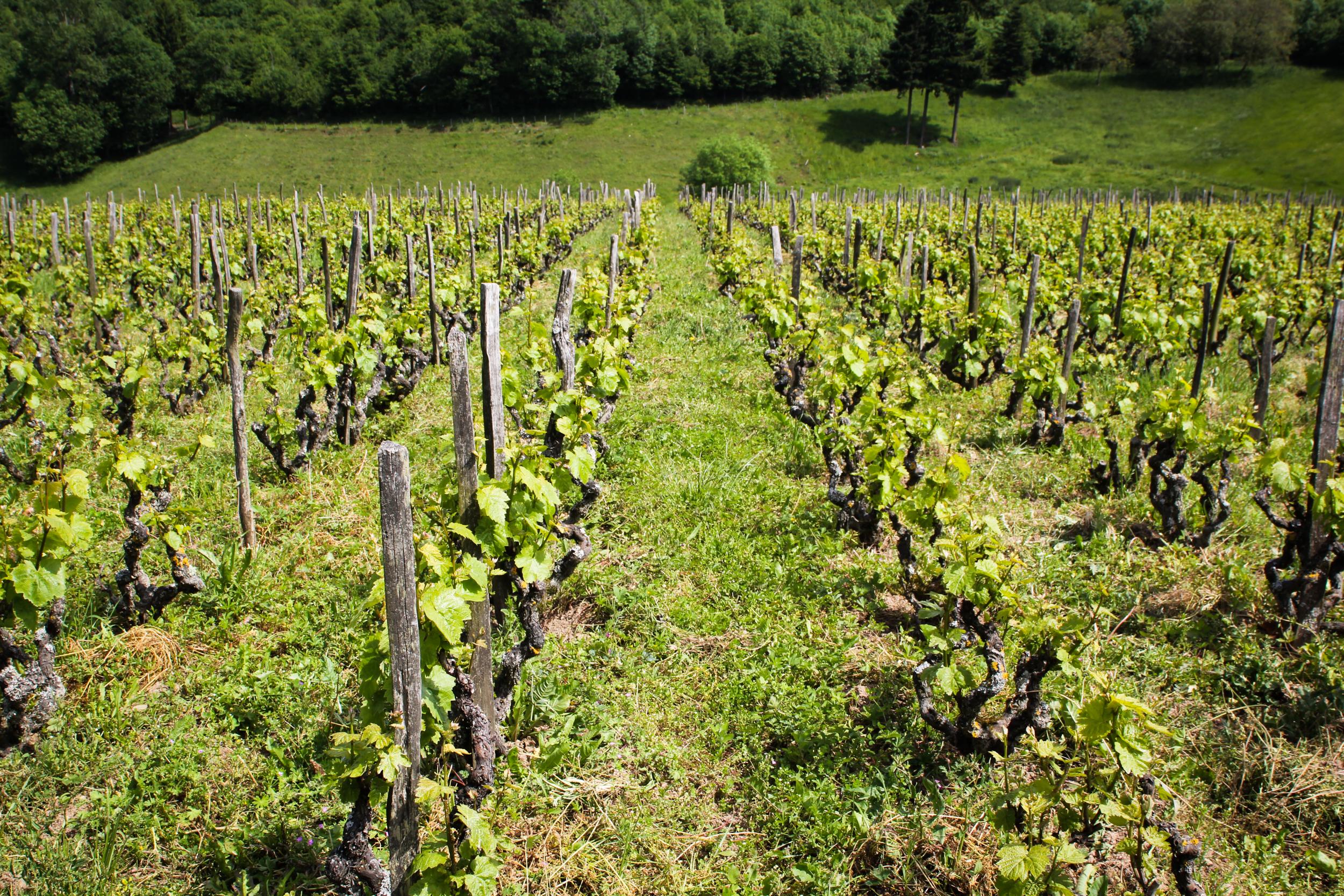 Een wijngaard van natuurwijnmakers